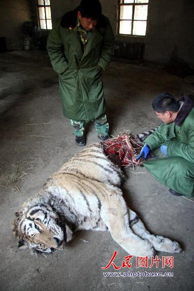 组图:沈阳冰川动物园东北虎自相残杀咬死同类