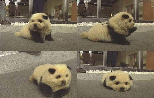 组图:小狗还是熊猫?+(3)