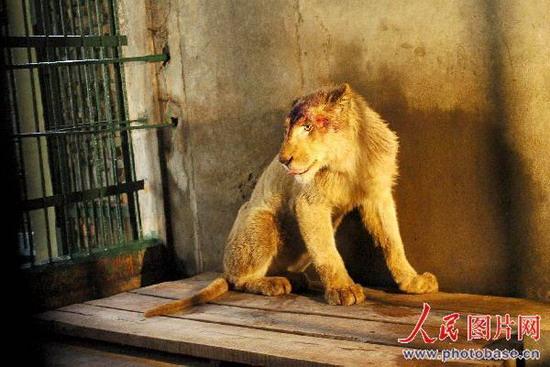 组图:非洲白狮落户南昌动物园