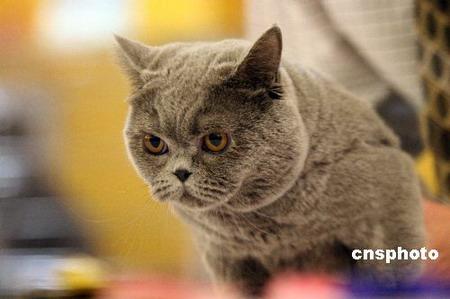 世界名猫京城斗秀图片
