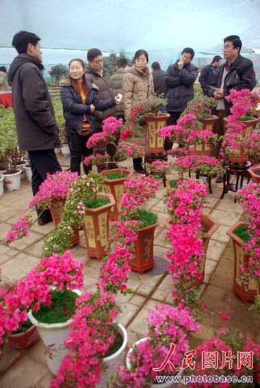 组图:山东青州市民买盆鲜花好过年 (2)