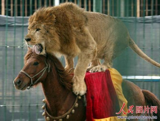 厦门海沧野生动物园上演雄狮骑马表演