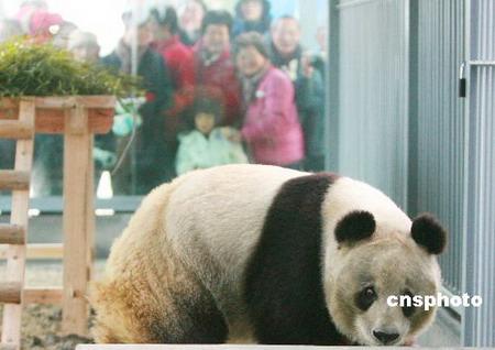 """大熊猫""""苏苏""""在苏州动物园新居与游客见面"""