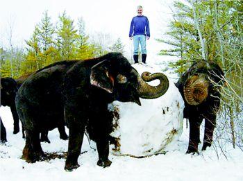 这是加拿大安大略野生动物园里的两只大象滚雪球的一幕,它们用力把