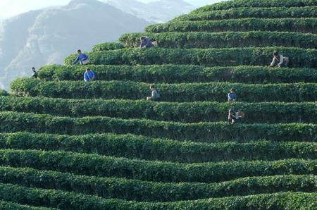 3月23日,村民在贵州贵定县云雾镇鸟王村采茶.