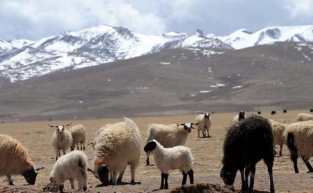 西藏自治区是中国五大牧区之一。由于政府采取草场归户 牲畜私有私养的扶持措施,畜牧业得到迅速发展。随着全国各地援藏向农牧区的倾斜,畜产品开发力度也在加强,以藏北牛羊肉、奶制品为主的绿色食品走出高原,并为牧区带来更大的收益。新华社记者 觉果 摄