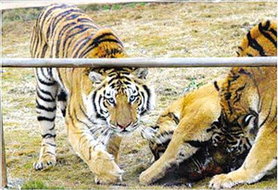 宜昌三峡森林野生动物世界的老虎越来越少