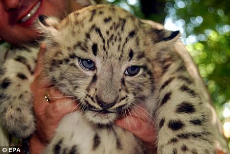 这种猫科动物的表层毛长而厚软,底毛似羊毛般的密实,体色呈银灰黄色