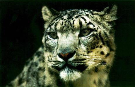 雪豹在大型猫科动物中属于中等体型