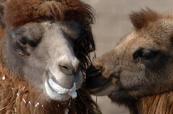 野骆驼是世界极度濒危物种之一,也是我国一级野生保护动物。全世界只在中国新疆和蒙古国有野骆驼分布,仅存活800多峰。目前,我国正在加强保护野骆驼与其栖息环境。在原有的省(区)级自然保护区的基础上,新疆罗布泊和甘肃安南坝两个以野骆驼为主要保护对象的国家级自然保护区于2003年和2006年相继成立。安南坝保护区保护着我国野骆驼三分之一的种群。新华社记者韩传号摄