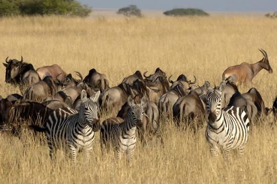组图:肯尼亚动物大迁徙