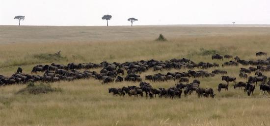 组图:肯尼亚动物大迁徙 (3)