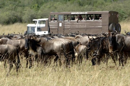 组图:肯尼亚动物大迁徙 (4)