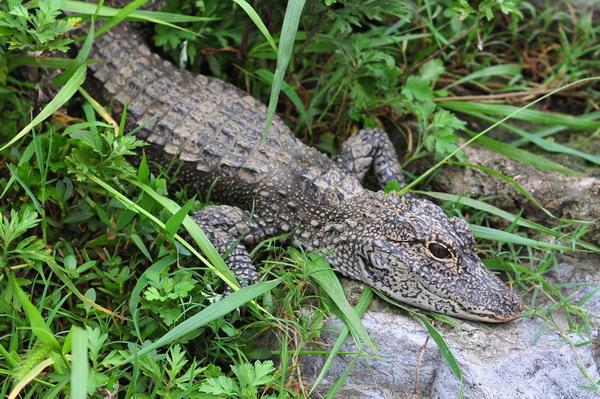 组图:扬子鳄在非栖息地健康成长