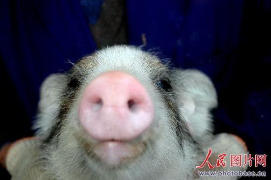 野猪是不是国家保护动物?吗