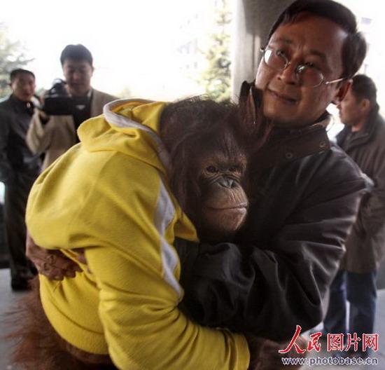 人民网讯 2008年12月1日,秦皇岛市第一医院的医护人员正在为特殊的小病号猩猩天齐做抽血化验检查。据秦皇岛市野生动物园的兽医介绍,三天前饲养人员发现动物园里的小猩猩天齐不想吃食物,检查发现它高烧39度,虽然当即就给它采取了输液治疗,但三天来却发现它的病情越来越严重,竟然发展到了连水也不想喝的程度。当日,为给这只已经7岁的小猩猩做一次全面体检,对它的病情进行明确诊断,秦皇岛市野生动物园派出了4名工作人员护送小猩猩天齐到医院接受检查,经秦皇岛市人民医院众多专家会诊,发现天齐不仅患有胃肠道感冒,而且