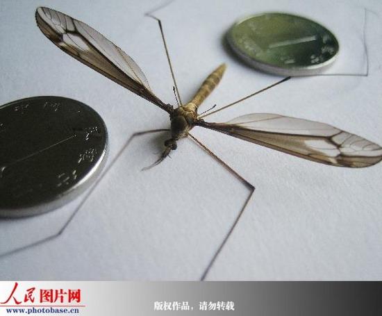 组图:广西上思惊现罕见巨蚊 全长9厘米