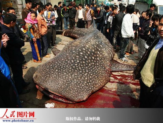 组图:福建石狮渔民放假小学欲捕获被边警查获买卖鲸鲨临沂图片