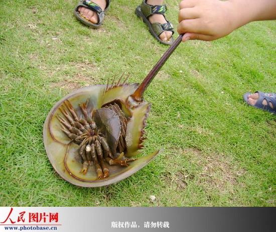 鲎是一种海洋节肢动物