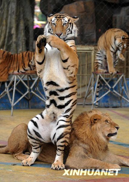 组图:南宁动物园上演精彩狮虎戏 (3)