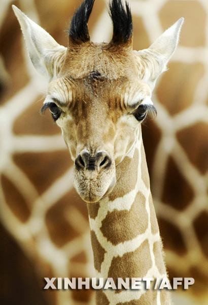 5月15日,在德国柏林的一个动物园里,一只4个星期大的小长颈鹿站在妈妈