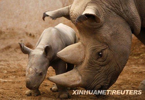 一个动物园,一只出生刚4天的小黑犀牛依偎在妈妈身边