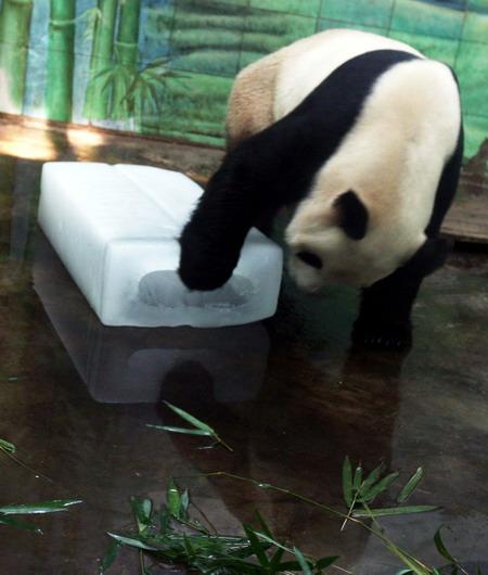 """6月15日,武汉动物园的大熊猫""""希望""""用冰块""""乘凉""""."""