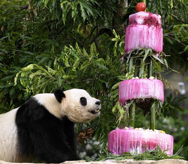 """7月9日,熊猫""""泰山""""在美国首都华盛顿国家动物园品尝生日蛋糕,迎来4"""
