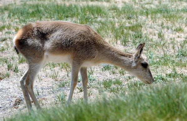 地处青藏高原腹地的可可西里国家级自然保护区,面积超过4万平方公里,是我国最大的无人区之一。特殊的自然环境养育了独特的动植物种群,这里有藏羚羊、藏野驴、野牦牛、藏原羚等国家一、二级保护动物,是青藏高原珍稀动物基因库,被称作野生动物王国。近年来,随着生态环境的不断改善,可可西里地区的生物多样性呈现全面恢复状态,无数的生命在这里顽强而蓬勃地繁育、成长。