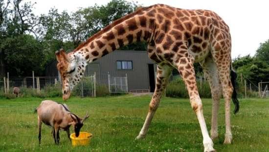 英国动物园长颈鹿和山羊亲密如好友 (2)