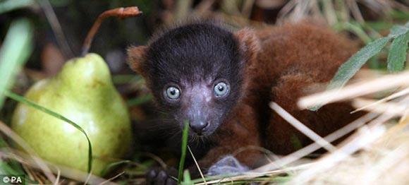 动物园近日诞生了一只可爱的红领狐猴宝宝,小狐猴舔梨的可爱表情吸引