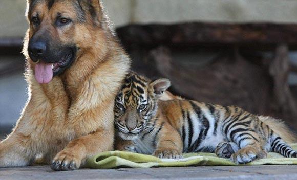 德国牧羊犬茹姆勃却把刚出生3个月大的小虎仔金瓦当成了小弟弟,自告