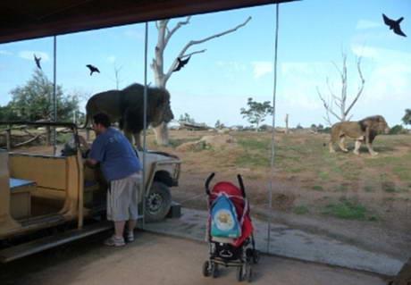 澳洲墨尔本一家动物园人狮隔玻璃面对面(组图);