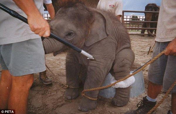 在马戏团观看动物的表演,观众可能会对动物们的训练有素、温顺乖巧大笑不已。不过,很多人可能想象不到,动物们平时的训练过程却是十分艰辛的,一些训练方法甚至可以用残忍来形容。美国一些驯兽员日前公开了部分训练大象的照片,残忍的过程令人心酸。(杜林林)