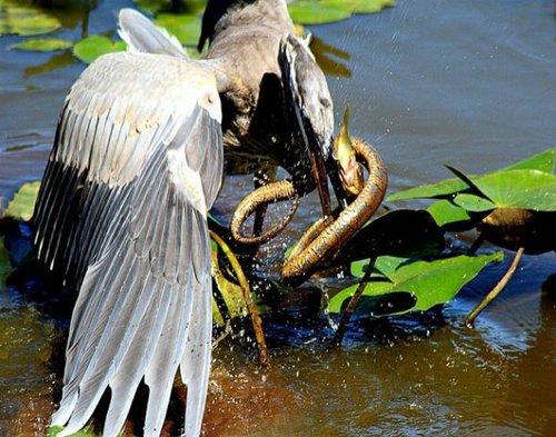 动物捕猎精彩瞬间:水蟒吞食鳄鱼