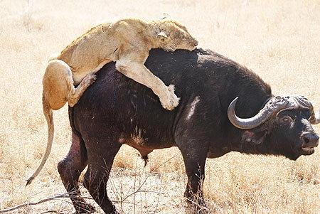 简笔画-南非六头母狮与水牛大战八小时