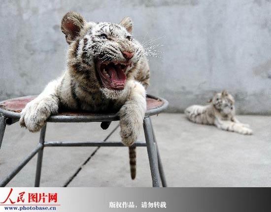 一只小白老虎稳坐王位