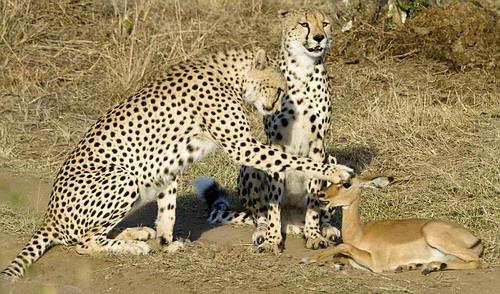 野生动物园中三只猎豹与羚羊竟成了朋友