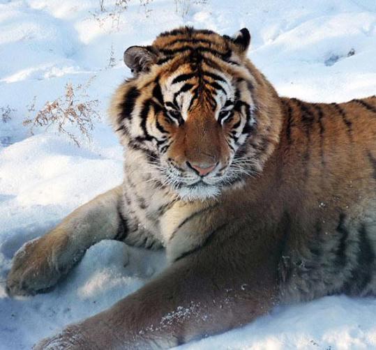 """至今,彝族不分性别称男人,女人为""""罗罗"""",同时也把虎称""""罗罗"""",称公虎为"""