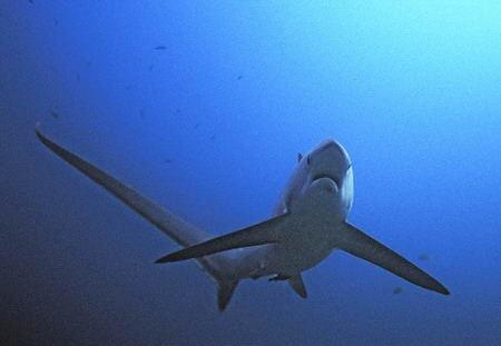 长尾鲨鱼折纸图解