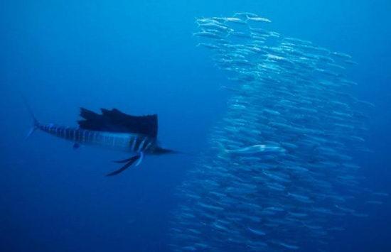 海里游的最快的动物
