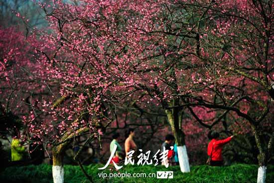 市民游客在满园绽放的梅花树下徜徉游赏.