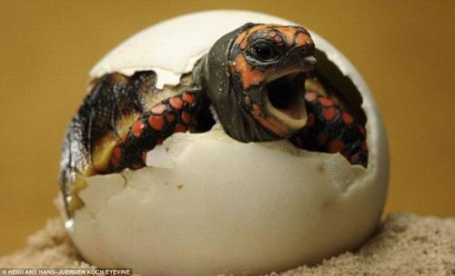 小动物是怎样从蛋壳内出生的