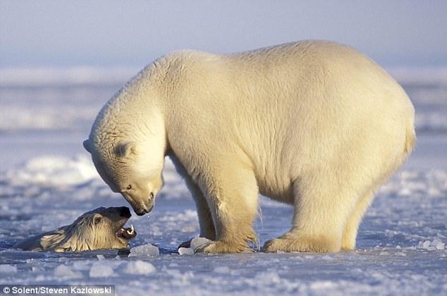 北极区野生动物保护区捕捉到了一连串北极熊母子冰上