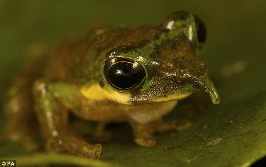 上发现的新种类动物——长鼻子青蛙.-印尼发现大批新物种 有长鼻图片