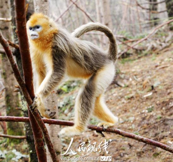 东方特有的动物金丝猴,看见了它就想起了东方故事高清图片