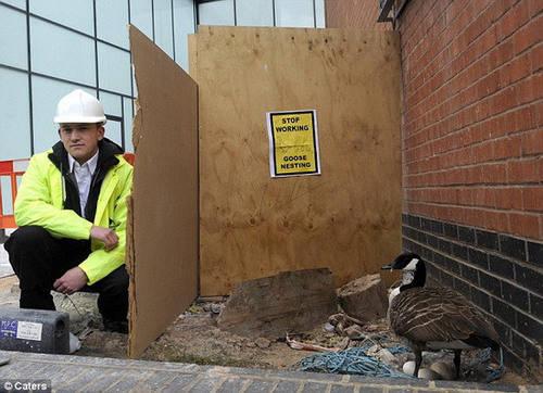 """工人们给母鹅搭了一个""""临时产房"""",木板上贴着的黄色警示标识写着""""母鹅"""