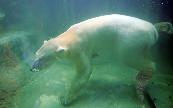 组图:德国动物园北极熊水中找乐