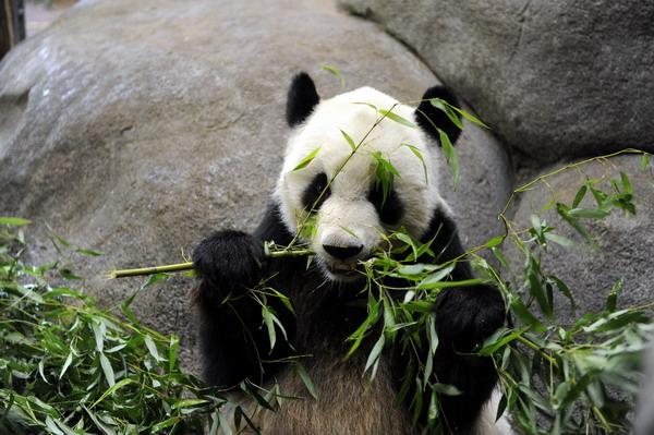 保定动物园大熊猫吃竹子