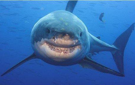 澳大利亚/图解:目击者称攻击冲浪者的鲨鱼像是大白鲨